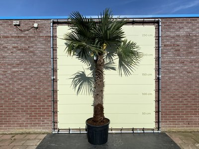 Trachycarpus Fortunei 140 - 160 cm stamhoogte