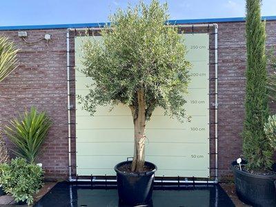 Olea - Europea Olijfboom met gladde stam, stamomvang 50 - 60 cm