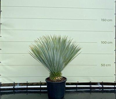 Yucca Rostrata stamhoogte 10 - 20 cm