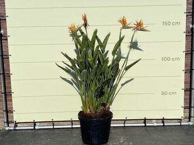 Paradijsvogelbloem - Strelitzia Reginae 150 - 170 cm
