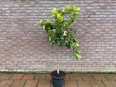 Sinaasappelboom maat L