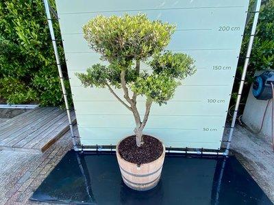 Olea Europea - Olijfboom, stamomvang 20-25 cm in half wijnvat