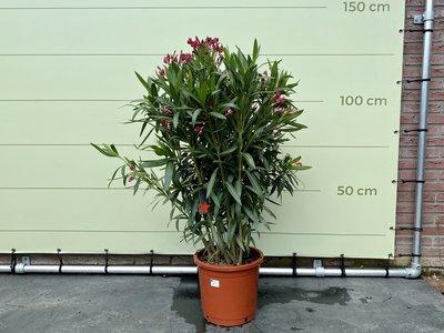 Rode Oleander - Nerium Oleander 60-80 cm