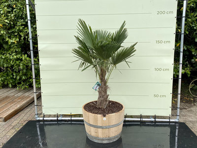 Trachycarpus fortunei - Palm 150 cm in half wijnvat