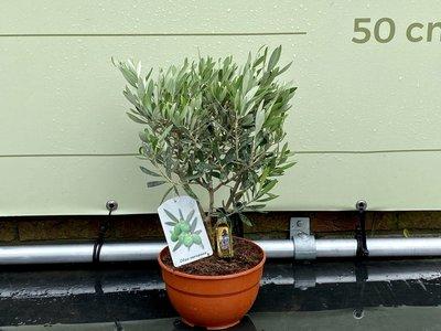 Olijfboom. Struik op stam. 40 cm.