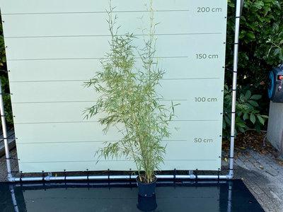 Phyllostachys Aurea - Bamboe Aurea. Hoogte 175 cm