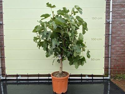 Vijgenboom stamomvang 12/14 cm, zoete donkere vijg