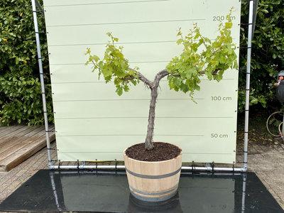 Druivenboom in houten wijnvat - Druif op oude stam 160 cm