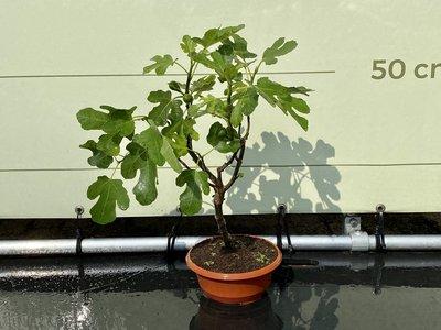 Vijgenboom - Brown Turkey 40-60 cm, zoete donkerrode vijg