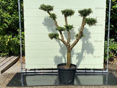 Olea Europea - Olijfboom pon-pon, stamomvang 30 - 40 cm
