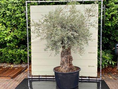 Olea Europea - Olijfboom bonsai stamomvang 100 - 120 cm