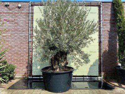 Olea Europea - Olijfboom bonsai stamomvang 120 - 140 cm