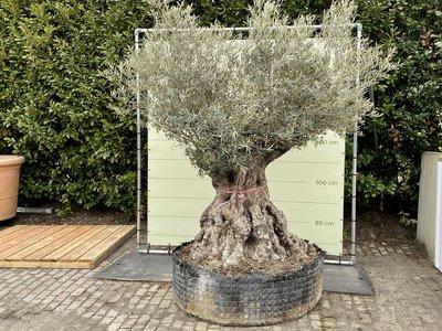 Olea Europea - Olijfboom bonsai stamomvang 180 - 230 cm