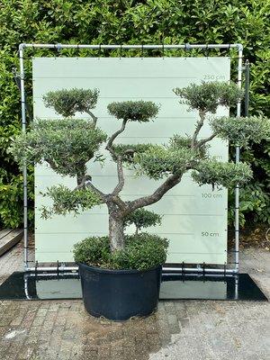 Olea Europea - Olijfboom pon-pon, stamomvang 40 - 60 cm