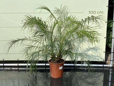 Phoenix Roebelenii stamhoogte 10-30 cm