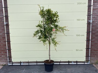 Granaatappelboom maat L - Stamomvang 8-10 cm
