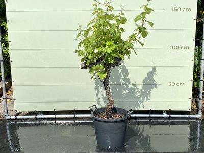 Druif op oude stam - 110 cm, stamhoogte 60-80 cm