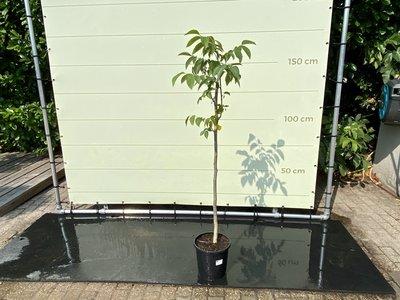 Juglans Regia - Walnootboom ca. 150 cm
