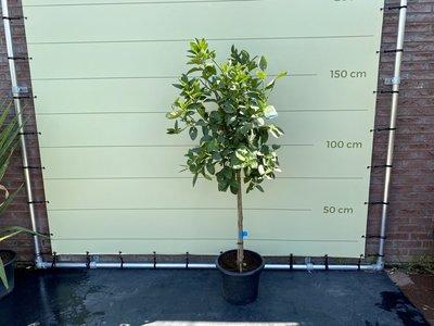 Limoenboom maat L 150 cm