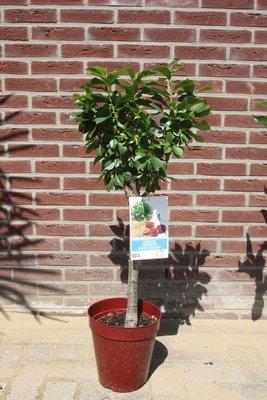 Kersenboom in deco pot, dwergfruit