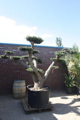 Olijfboom pon-pon stamomvang 100 - 110cm