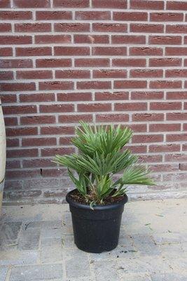 Chamaerops Humilis Vulcano 60cm