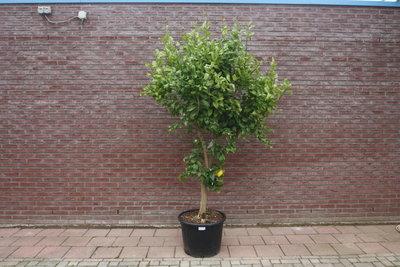 Citroenboom maat XL