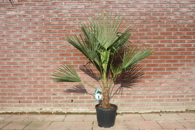 Trachycarpus Fortunei 20 - 25cm stamhoogte