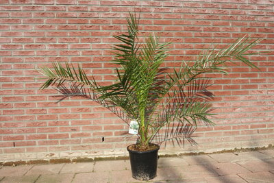 Phoenix Canariensis 125-150cm