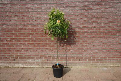 Mandarijnboom Maat M