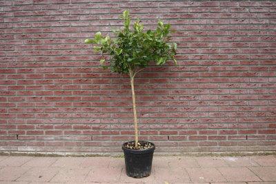 Citroenboom maat M/L