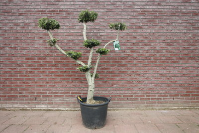 Olijfboom pon-pon stamomvang 25 - 30cm
