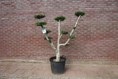 Olijfboom pon-pon stamomvang 30 - 40cm