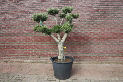 Olijfboom pon-pon stamomvang 40 - 50cm