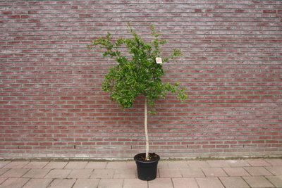 Granaatappelboom stamomvang 10/12cm