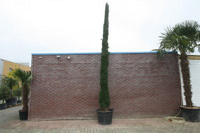Italiaanse Cipres Totem 550cm
