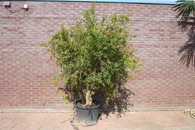 Granaatappelboom stamomvang 40/60cm