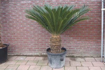 Cycas Revoluta stamhoogte 40 - 50cm