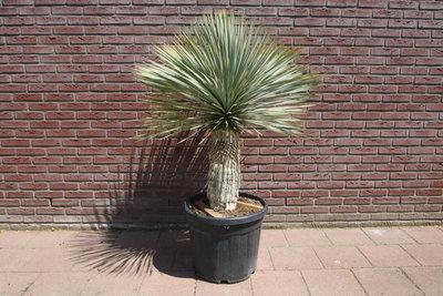 Yucca Rostrata 50 / 60cm stamhoogte