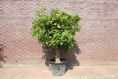 Sinaasappelboom maat XXXL