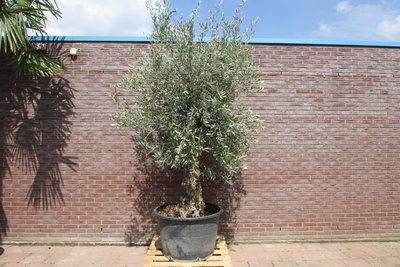 Olijfboom bonsai stamomvang 60 - 80cm