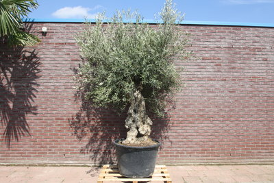 Olijfboom bonsai stamomvang 80 - 100cm