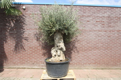 Olijfboom bonsai stamomvang 100 - 120cm