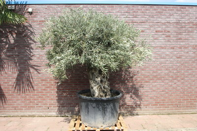 Olijfboom bonsai stamomvang 120 - 140cm