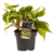 Decorum Philodendron Brazil (Decorum Philodendron Brazil)
