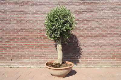 olijfboom bol op stam 160cm