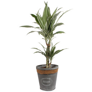 Dracaena Warneckei in grijze chipwood pot