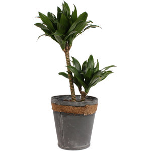 Dracaena fragrans compacta in grijze chipwood pot