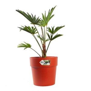 Wagner Palm met pot