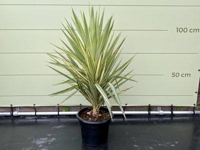 yucca elegans bont 130cm